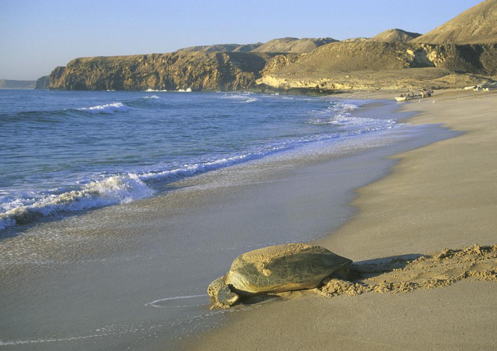 Sea turtle - OT -01 (34)